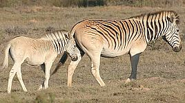 Quagga or Zebra?
